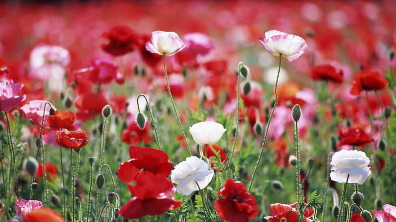 """""""Flowersland - White & Red Poppies"""" from motaen.com"""